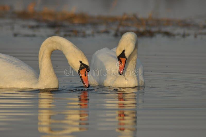Cigni che nuotano sul fiume Una coppia gli uccelli sull'acqua Amore immagini stock