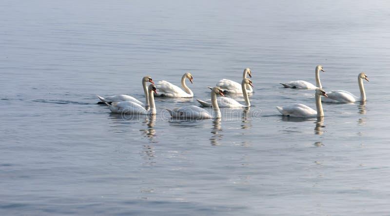 Cigni che nuotano sul lago immagine stock