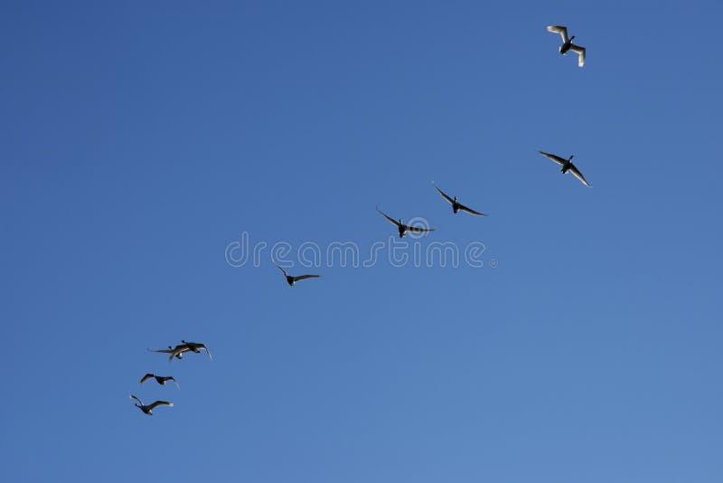 Cigni che volano in un chiaro cielo blu immagini stock libere da diritti