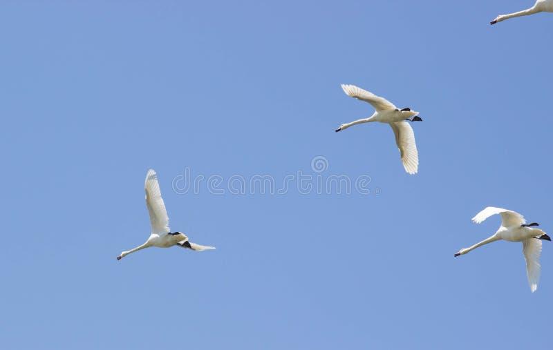 Cigni di tundra che volano in un chiaro cielo blu fotografie stock