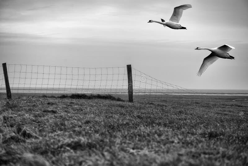 Cigni di volo attraverso la diga fotografia stock