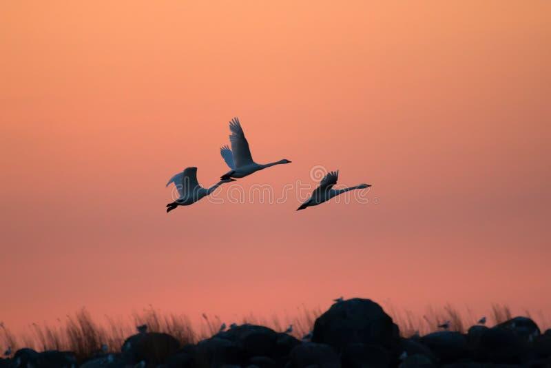 Cigni di volo contro drammaticamente il cielo di tramonto Due cigni minori immagini stock
