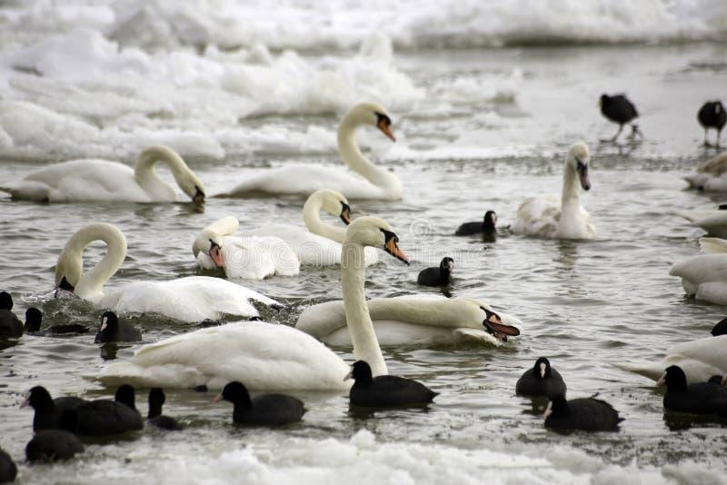 Cigni e folaghe al fiume congelato fotografia stock