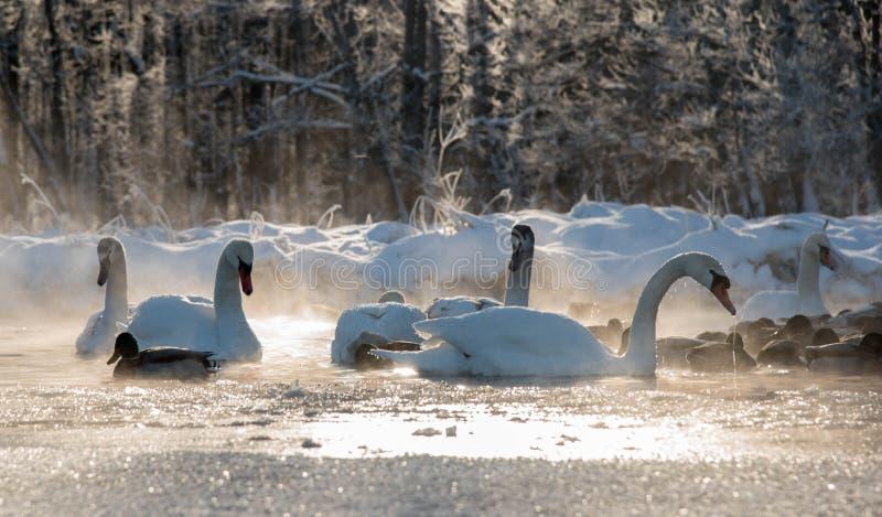 Cigni ed anatre bianchi sul lago congelato fotografia stock