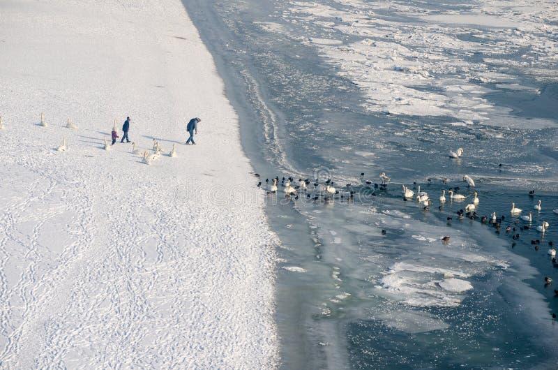 Cigni ed anatre dell'orologio della famiglia nel Danubio congelato dalla spiaggia congelata fotografie stock