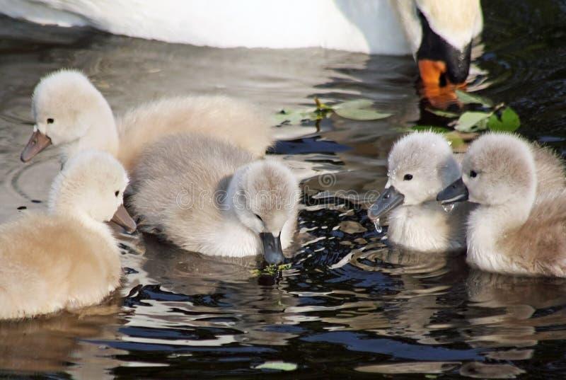 Cigni muti del bambino anziano di due giorni che hanno loro prima nuotata con la madre vicina immagine stock libera da diritti