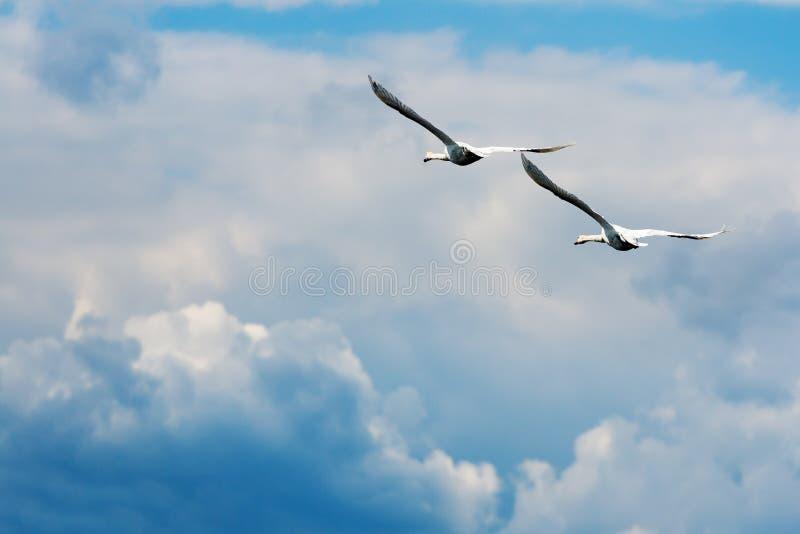 Cigni muti durante il volo immagine stock libera da diritti