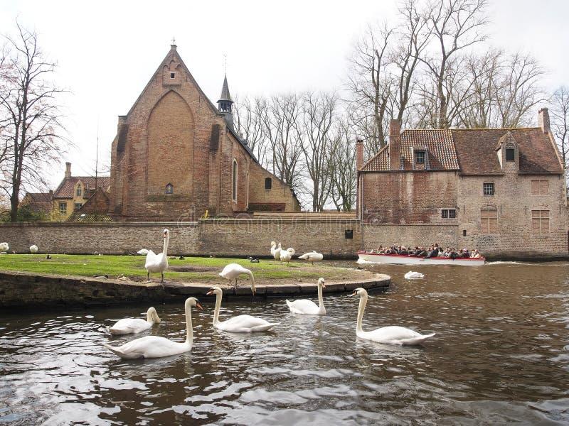 Cigni nel centro urbano di Bruges, Belgio immagini stock libere da diritti