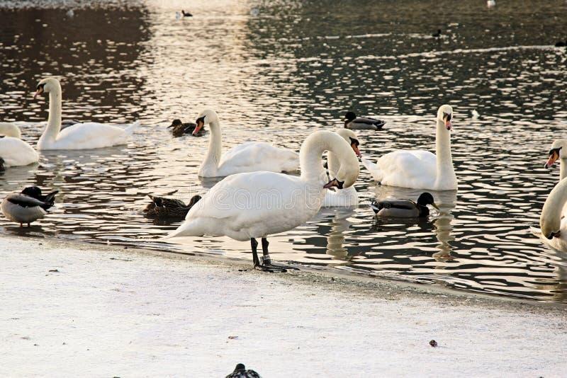 Cigni nel lago fotografia stock