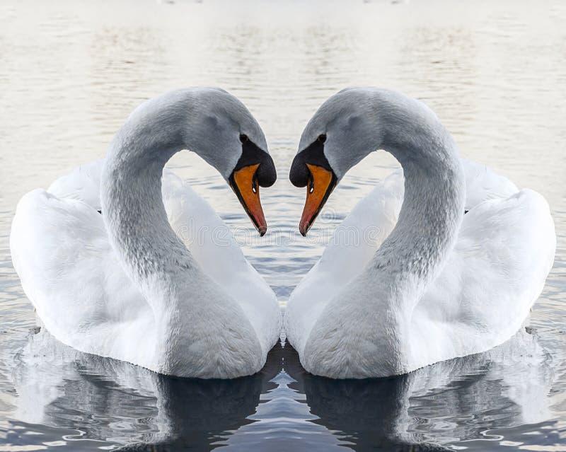 Cigni nell'amore che fa forma del cuore fotografia stock libera da diritti