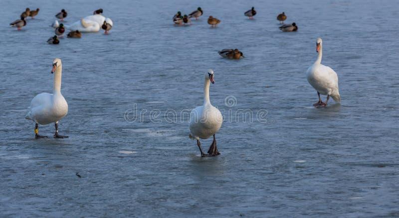 Cigni soli su ghiaccio fotografia stock libera da diritti