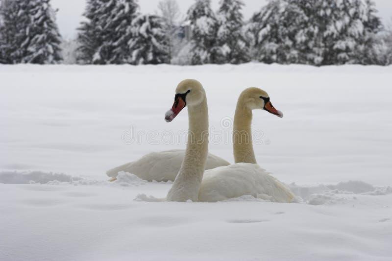 Cigni su neve immagini stock libere da diritti