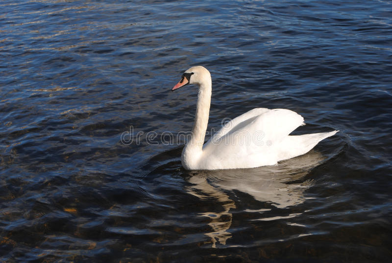 Cigni sul fiume fotografie stock libere da diritti
