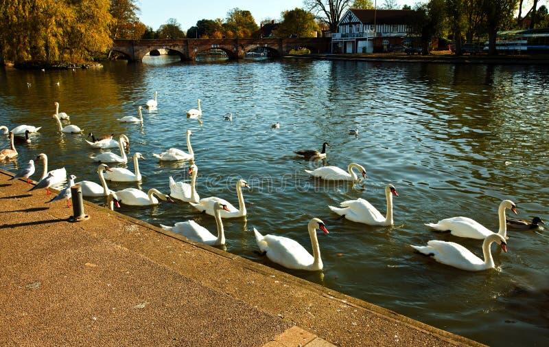 Cigni sul fiume di Avon immagini stock