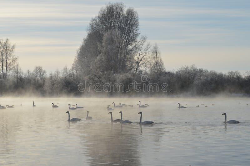 Cigni sul lago immagine stock libera da diritti