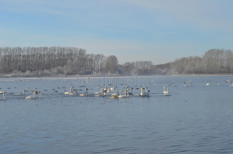 Cigni sul lago fotografia stock
