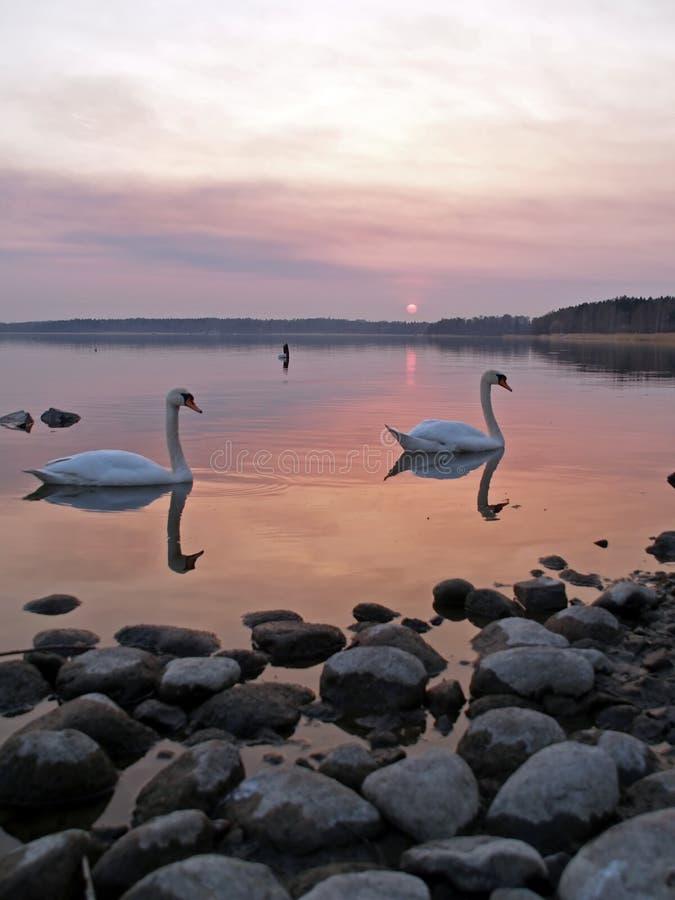 Cigni sul tramonto fotografia stock libera da diritti
