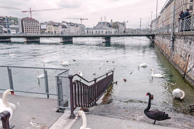 Cigni sull'autunno Ginevra di lungomare fotografia stock