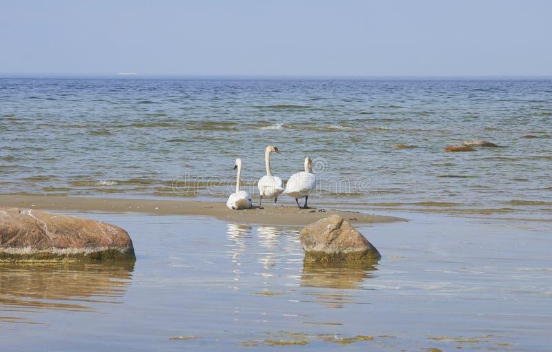 Cigni sull'isola della sabbia vicino alla linea costiera del Mar Baltico fotografie stock