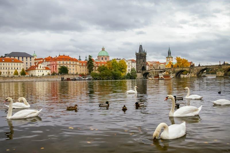 Download Cigni Vicino A Charles Bridge A Praga Fotografia Stock - Immagine di tempo, europa: 30829312