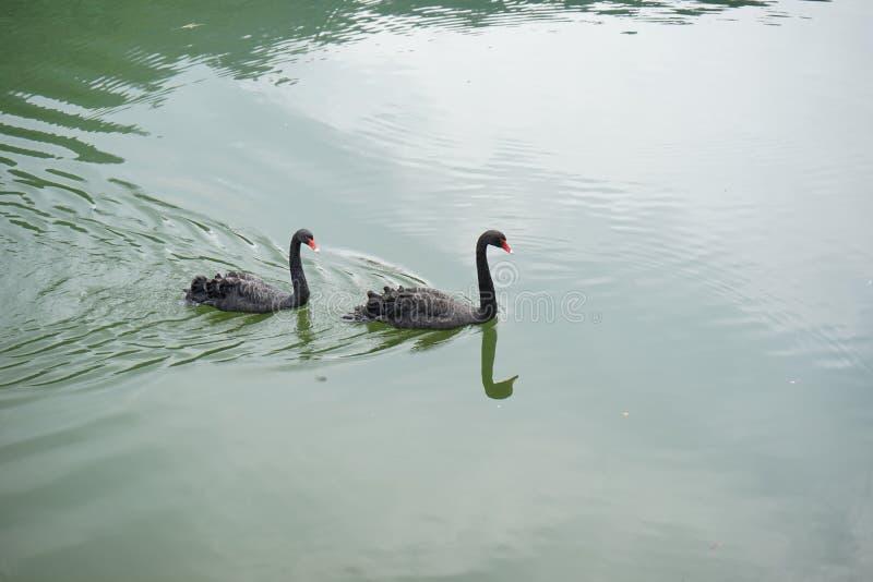 Download Cigno fotografia stock. Immagine di acqua, asia, animale - 55356752