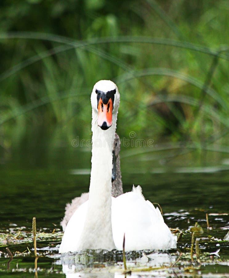 Download Cigno immagine stock. Immagine di occhi, uccello, acqua - 7317017