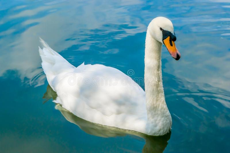 Cigno in acqua blu fotografie stock