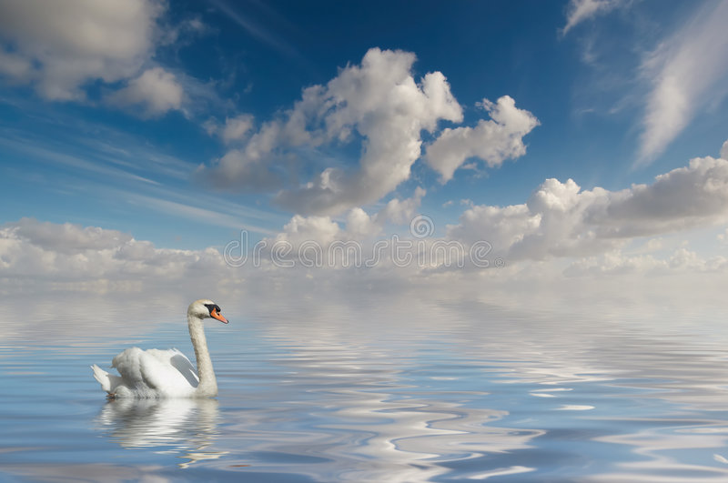 Cigno in acqua calma fotografia stock libera da diritti
