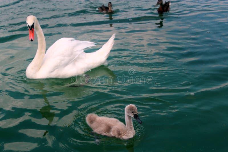 Cigno adulto e giovane con due anatre in lago Powidz poland fotografia stock