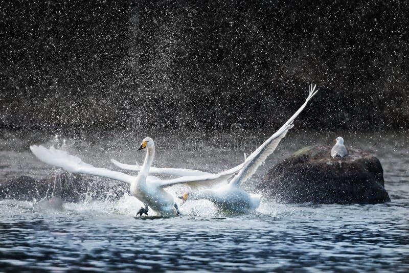 Cigno arrabbiato che insegue un altro e che spruzza acqua fotografia stock