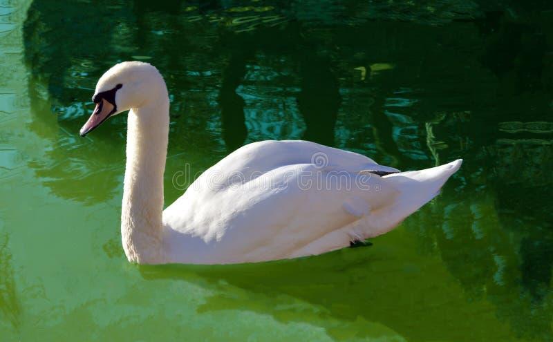Cigno bianco immagini stock libere da diritti