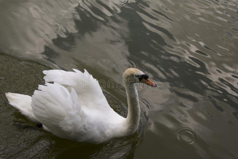 Cigno bianco in acqua fotografia stock
