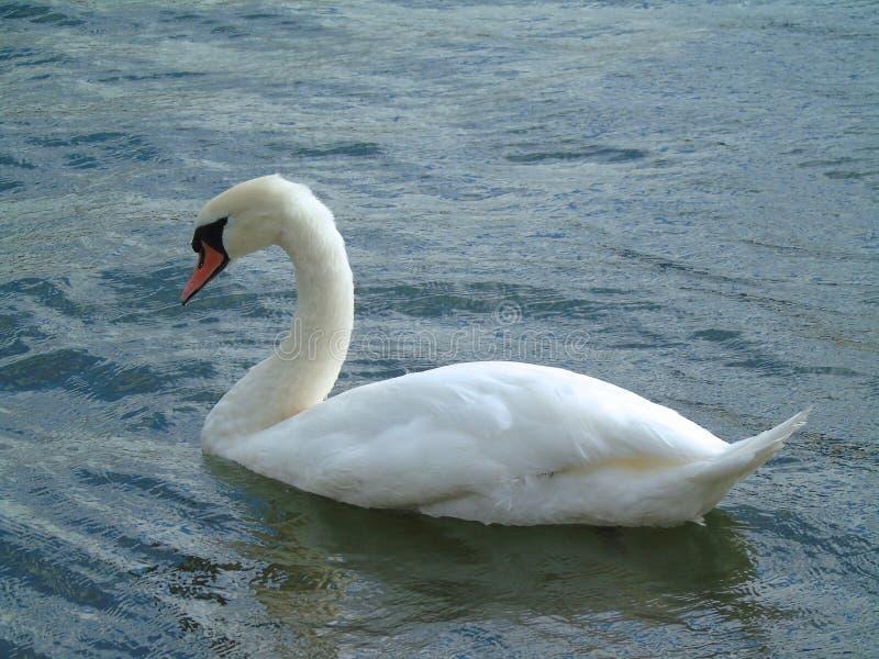 Cigno bianco in acqua fotografie stock