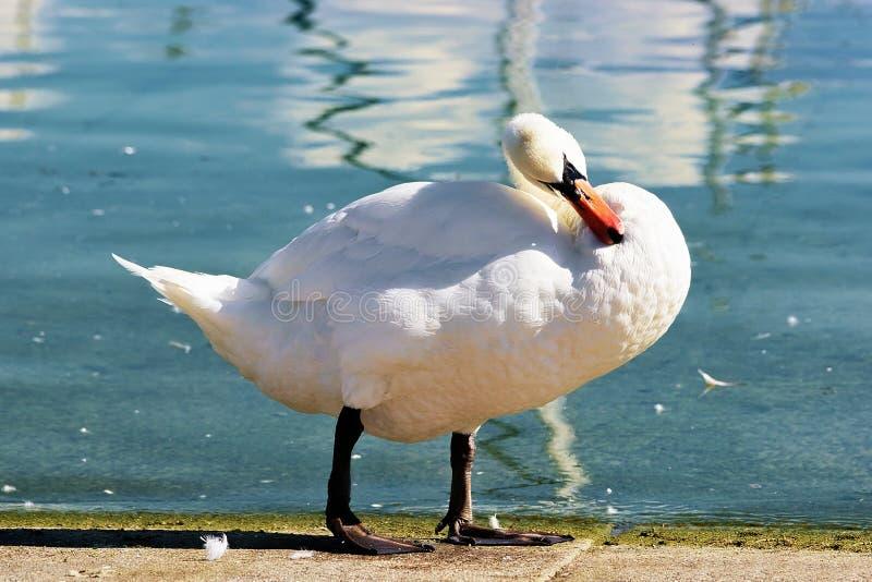 Cigno bianco alla passeggiata del lago Lemano a Losanna fotografie stock libere da diritti