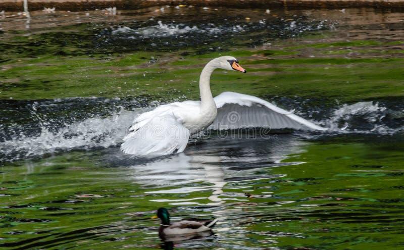 Cigno bianco che galleggia nel lago con acqua verde immagini stock libere da diritti