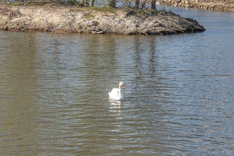Cigno bianco che galleggia sull'acqua fotografie stock libere da diritti