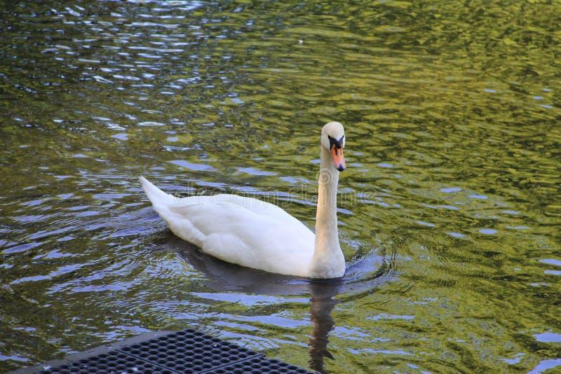Cigno bianco che galleggia sull'acqua fotografia stock