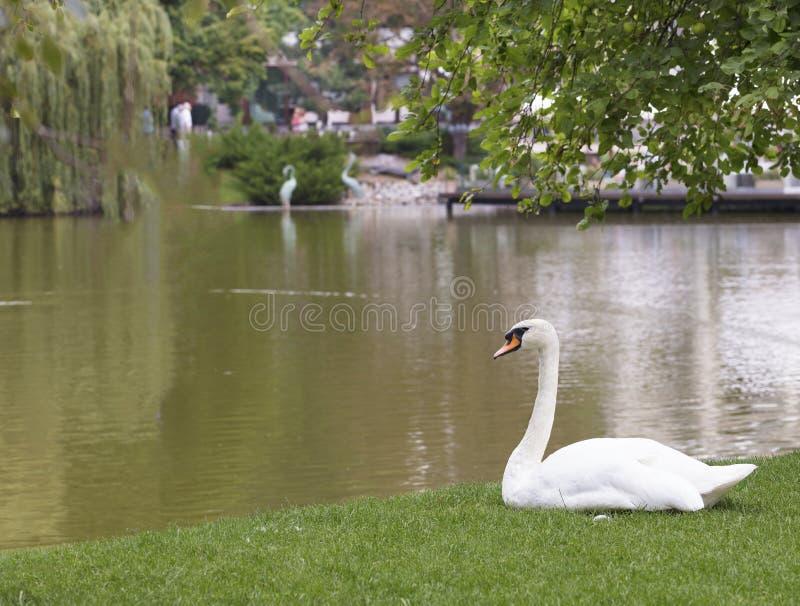 Cigno bianco che si siede sull'erba verde vicino allo stagno della città fotografie stock