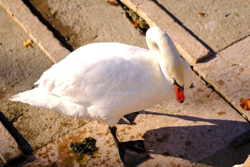 Cigno bianco come la neve sul pilastro fotografia stock libera da diritti