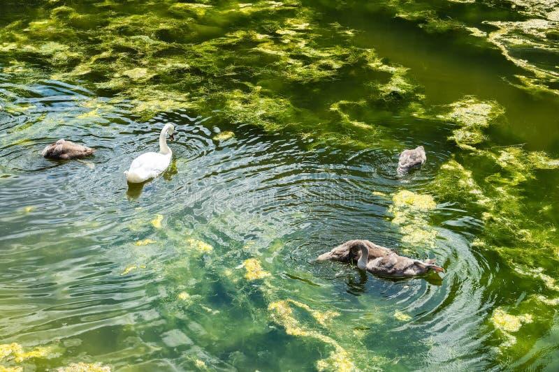 Cigno bianco con i piccoli cigni nello stagno Mondo animale immagini stock libere da diritti