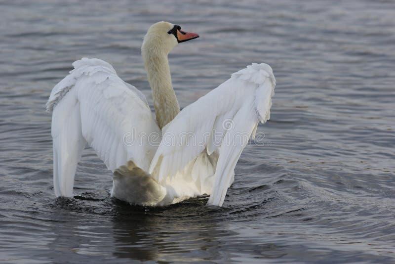 Cigno bianco (Cygnus Olor) su acqua macchiata di inchiostro fotografia stock libera da diritti