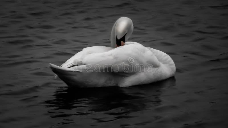 Cigno in in bianco e nero fotografia stock libera da diritti