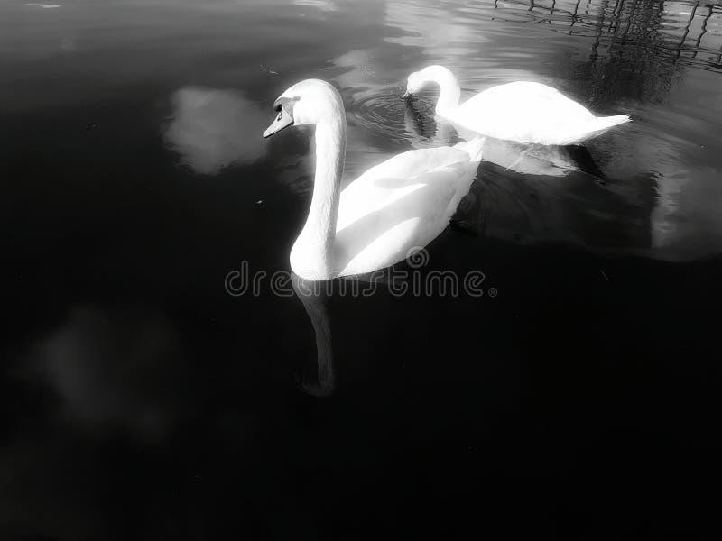 Cigno in bianco e nero fotografia stock libera da diritti