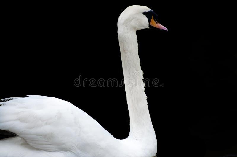 Cigno bianco isolato immagini stock