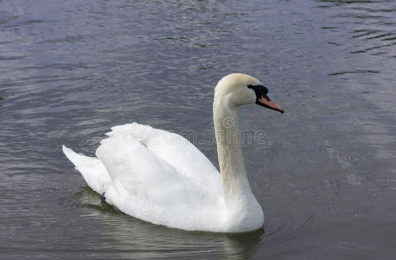 Cigno bianco isolato Cigno bianco sul lago fotografie stock