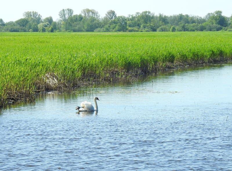 Cigno bianco nel chanel in primavera, Lituania immagine stock libera da diritti