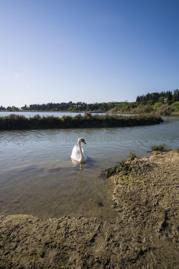 Cigno bianco nel lago all'alba fondo romantico Bello cigno cygnus Neolatino del cigno bianco con chiaro fotografia stock libera da diritti