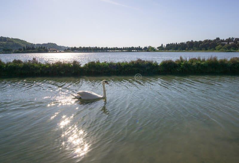 Cigno bianco nel lago fondo romantico Bello cigno cygnus Neolatino del cigno bianco con chiaro bello fotografia stock