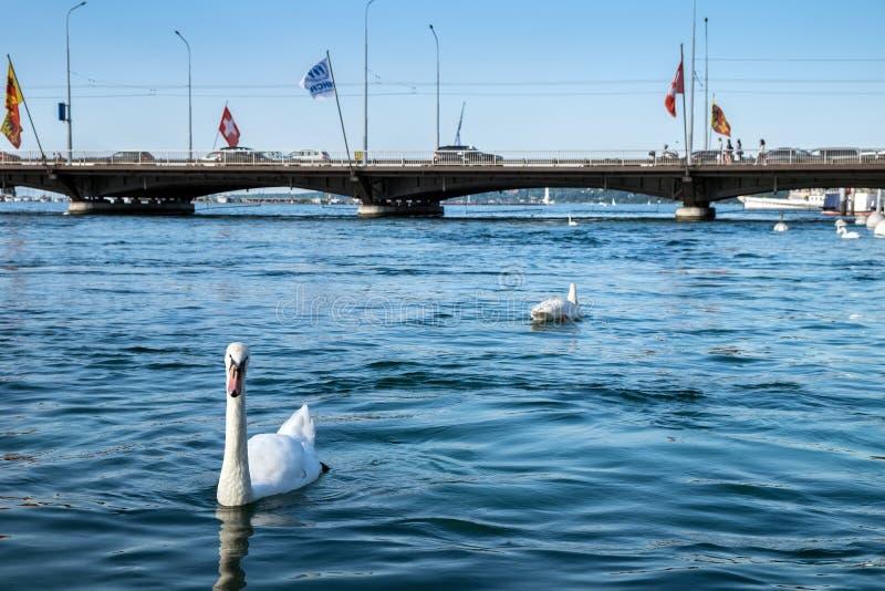 Cigno bianco nel lago geneva Tempo crepuscolare fotografia stock libera da diritti