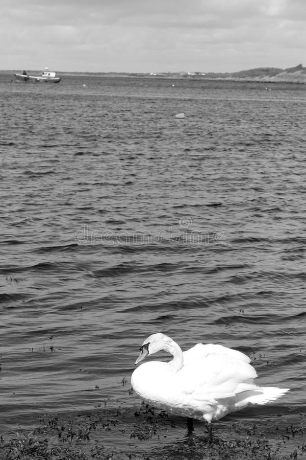 Cigno bianco solo in kelp del mare immagine stock